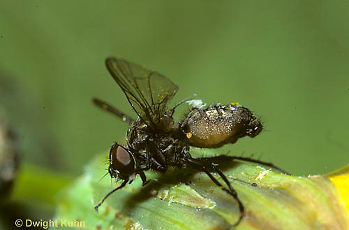 1H08-002c  House Fly - dead with fungus disease invading body - Musca domestica