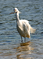Snowy egret adult with shrimp