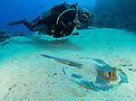 Stingray and Diver at Ras Mohammed National Park. Diver is close to ray