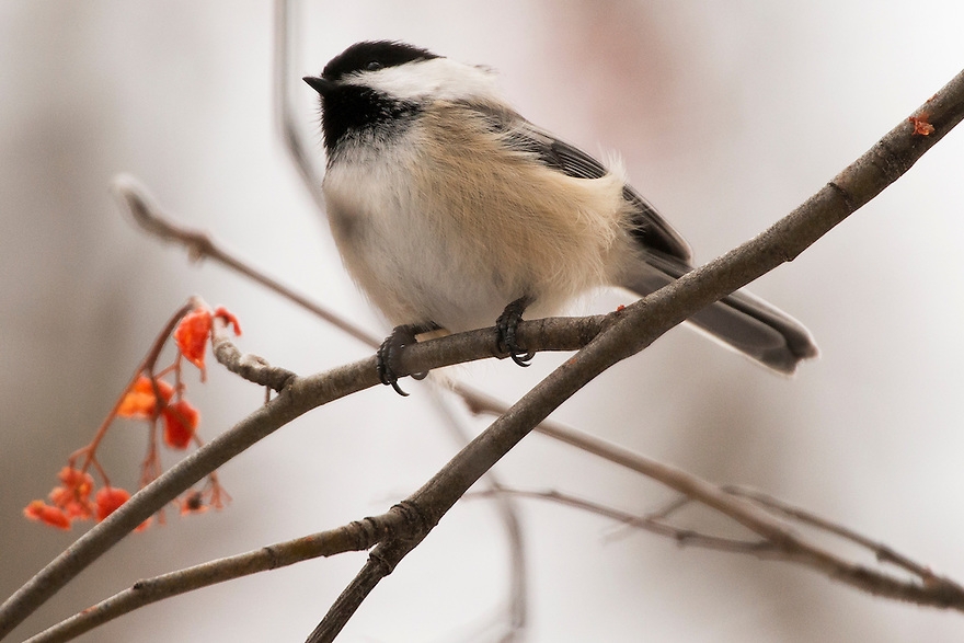 A Black-capped Chickadee perches in a mountain ash tree ialong Bozeman Creek in Bozeman, Montana.