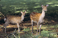 Sika, Sika-Hirsch, Sikahirsch, Sikawild, Sika-Wild, Weibchen, Mutter mit Kalb, Jungtier, Cervus nippon, sika deer