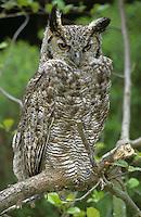 Patagonien-Uhu, Patagonienuhu, Uhu, Bubo virginianus nacurutu, South American Horned Owl