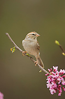 Chipping Sparrow, Spizella passerina, adult perched on branch of blooming Eastern redbud (Cercis canadensis), New Braunfels, Texas, USA, March 2006