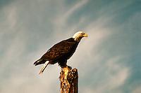 Mature Adult Bald Eagle (Haliaeetus leucocephalus) perched on Tree Stump