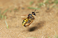 Bee Wolf Wasp - Philanthus triangulum flying with Honeybee prey.