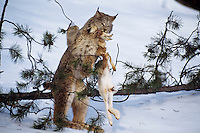 Canadian Lynx (Lynx canadensis) playing (like a house cat does with a mouse) with a snowshoe hare.  Western U.S., winter.