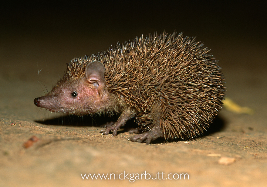Lesser Hedgehog Tenrec (Echinops telfairi) foraging at night. Anjampolo Spiny Forest, southern Madagascar.