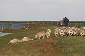 More than 20 sheep were drowned after a spring tide with storm in the salt marsh in the northern part of Friesland (Netherlands).    Meer dan 20 schapen verdronken na een springvloed met storm in de buitendijkse kwelder bij Blija en Marrum (langs de Waddenzee).