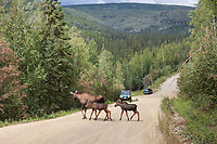 Cow moose and twin spring calves cross a gravel road near an oncoming vehicle in the city of Fairbanks, Interior, Alaska.