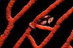 Denise pygmy seahorse portrait, Hippocampus denise, in a seafan, Subergogia sp., Raja Ampat, West Papua, Indonesia, Pacific Ocean