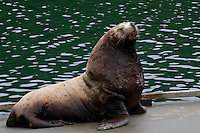 Male sea lion resting on the dock in Kodiak, Alaska. This one is a real warrior and carries the scars and wounds to prove it.