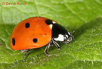 0106-0904  Seven-spotted Ladybug, Adult, Coccinella septempunctata, Virginia  © David Kuhn/Dwight Kuhn Photography