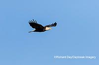 00807-03701 Bald Eagle (Haliaeetus lecocephalus) in flight Clinton Co. IL