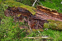 Rotting tree and moss, Blagden Preserve, Indian Point, Maine, ME, USA