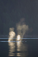 killer whale or orca, Orcinus orca, transient orcas, spouting, blowing, Gulf Islands, British Columbia, Canada, Pacific Ocean