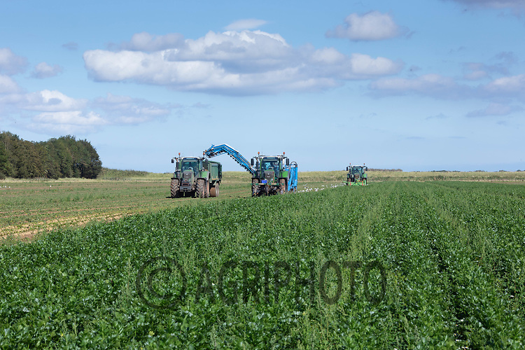8.9.2020 Lifting Celeriac in the Lincolnshire Fens <br /> ©Tim Scrivener Photographer 07850 303986<br />      ....Covering Agriculture In The UK.