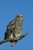 Young Great Horned Owl seen with one bad eye has left the nest.