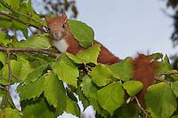 Europäisches Eichhörnchen, junges Eichhörnchen klettert in einem Haselnuss-Strauch, Sciurus vulgaris, European red squirrel, Eurasian red squirrel