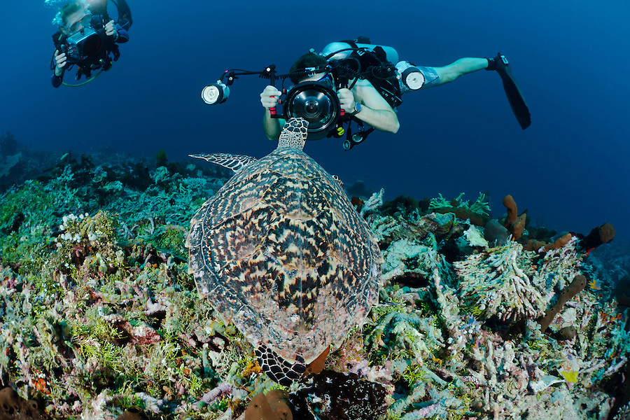 A diver shooting a digital SLR gets an in-your-face view of a hawksbill turtle, Eretmochelys imbricata, on an Indonesian reef. The divers are model released.
