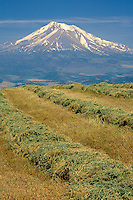 Hayfield near Gazelle<br />    and Mount Shasta<br /> Cascade Range<br /> California