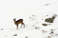 Roe deer in the snow