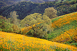 Exceptional poppy bloom near Big Bar in the Mokelumne River Canyon, Calif.