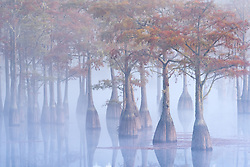 A small grove of pond cypress emerge from the morning fog just after sunrise, dressed in fall color.<br /> Artist Edition: 15/100 Limited