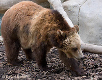 0325-1005  Grizzly Bear, Ursus arctos horribilis  © David Kuhn/Dwight Kuhn Photography.