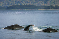 Three adult humpback whales (Megaptera novaeangliae) surfacing after sub-surface feeding episode in Icy Strait in Southeast Alaska, USA. Pacific Ocean