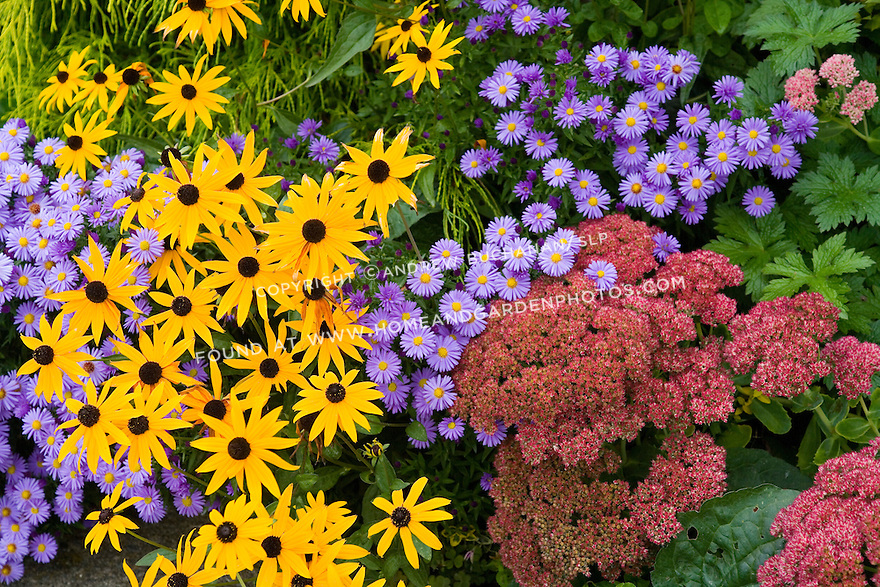 Close-up detail shot of bright yellow, purple, and deep red fall flowers filling the frame.<br /> <br /> For the past several seasons, this Seattle-area garden designer has decided to slowly replace her water and labor-intensive annual and tender perennial beds with hearty, foliage-oriented perennials.  Now several years old, the beds have matured and filled in nicely, and provide low-maintenance, year-round interest.  In the fall, yellow, golden orange, and red hues take the place of showy flowers, while dramatic shapes keep the eye moving left, right, up, and down.