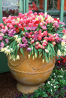 Tulips in beautiful terracotta pot container