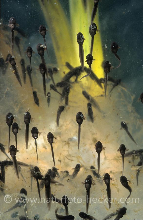 Grasfrosch, Gras-Frosch, Kaulquappe, Kaulquappen, Entwicklungsreihe, Entwicklung, Metamorphose, Frosch, Rana temporaria, European Common Frog, European Common Brown Frog, polliwog, polliwogs, tadpole, tadpoles, metamorphosis