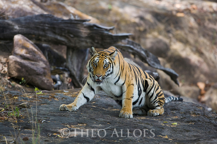 Bengal tiger (Panthera tigris) lying down on rock in shady area, dry season, April