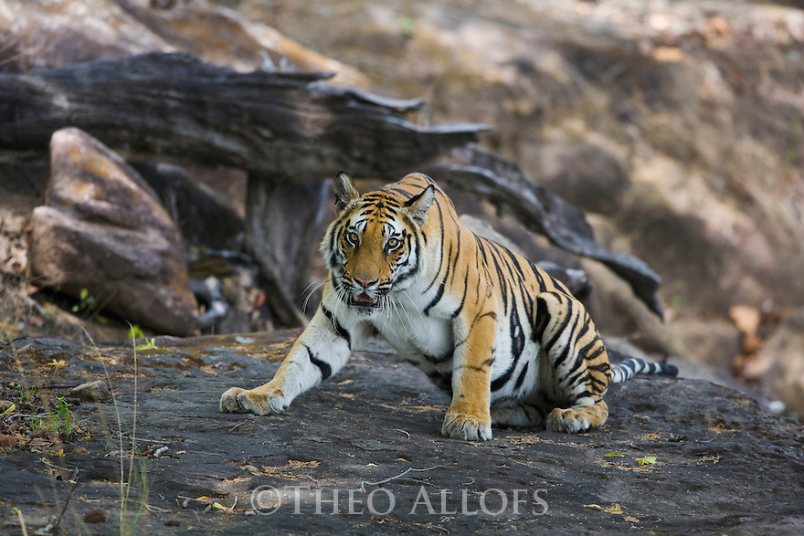 Bengal tiger (Panthera tigris) lying down on rock in shady area, dry season, April