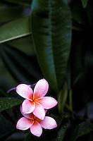 Pink plumeria blooms and leaves still on tree