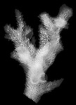 X-ray image of a table coral branch (white on black) by Jim Wehtje, specialist in x-ray art and design images.
