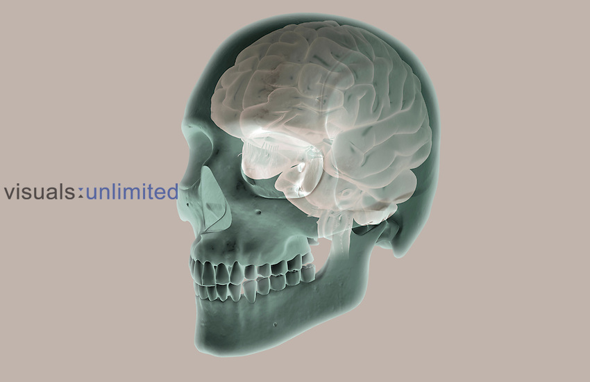 An anterolateral view (left side) of the brain relative to the skull. Royalty Free