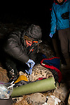 Snow Leopard (Panthera uncia) biologist Shannon Kachel, collaring male snow leopard at night, Sarychat-Ertash Strict Nature Reserve, Tien Shan Mountains, eastern Kyrgyzstan