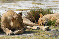 Tanzania Serengeti Nationalpark near Arusha , sleeping lion / Tansania Serengeti Nationalpark bei Arusha , Loewen
