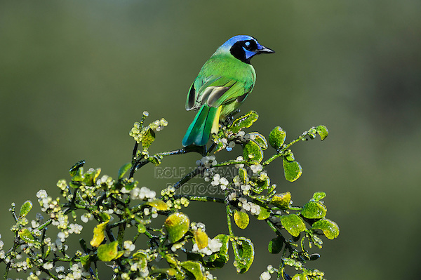 Green Jay (Cyanocorax yncas), adult perched on ice covered Christmas mistletoe(Phoradendron tomentosum), Dinero, Lake Corpus Christi, South Texas, USA