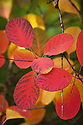 Autumn foliage of Smoke bush (Cotinus coggygria), early November.