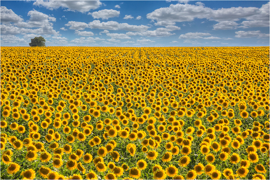 I like to call this Texas Wildflower image &quot;Happiness.&quot;<br /> <br /> I was driving north on my way to Dallas to photograph the Dallas skyline for a client. I left my house early, never knowing what traffic will be like on the interstate. While heading north, I noticed some fields of bright yellow. I knew I had plenty of time so I pulled off and found some side roads to investigate. Much to my surprise, I happened across a few fields that glowed with golden sunflowers as far as I could see. The field gently sloped uphill, so the sunflowers stretched all the way to the horizon. <br /> <br /> This Texas Sunflower image shows one of the most amazing fields of flowers I've ever seen. Despite this field of Texas Wildflowers being over 3 hours from my house, I would return here a few more times to photograph Sunflowers of happiness.
