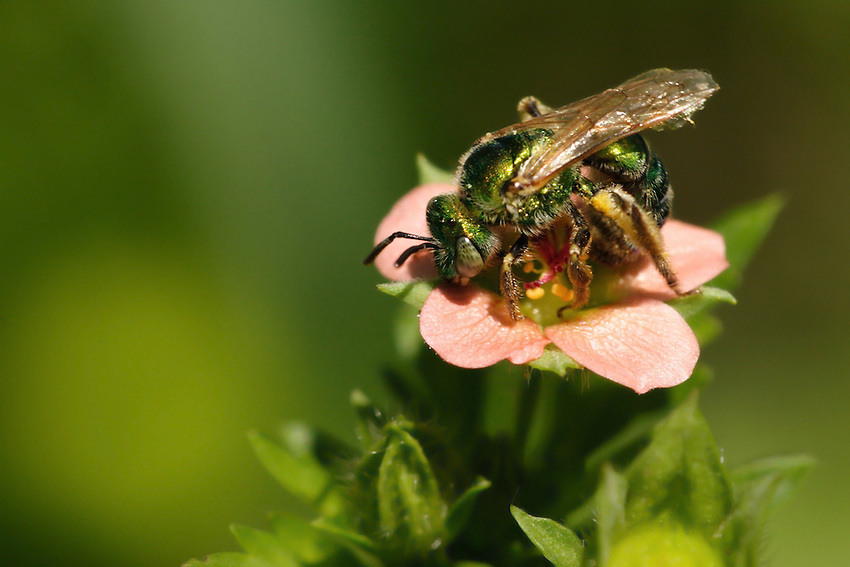 Sweat bee is the common name for any bees that are attracted to the salt in human sweat.