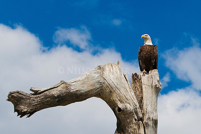 A Bald Eagle perched on a dead tree