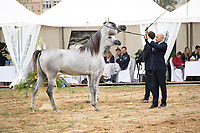 International Arabian Horse Show, line up for the judges are, D Feddah and Fajir Albidayer
