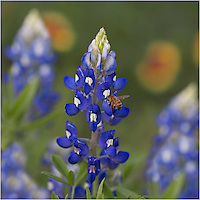 From the same level as the bee, this bluebonnet image captures a honeybee at work gathering nectar. On our property, we have many different Texas wildflowers growing, and this attracts hummingbirds, bees, butterflies, and all sorts of other bugs. ..In the background are a few blurred Indian firewheels. I like the color they add to the scene as well.