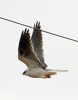 White-tailed kite flying off from perch