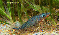 1S30-532z  Male Threespine Stickleback,  Mating colors showing bright red belly and blue eyes, gluing nest together with secretions from kidneys, Gasterosteus aculeatus,  Hotel Lake British Columbia