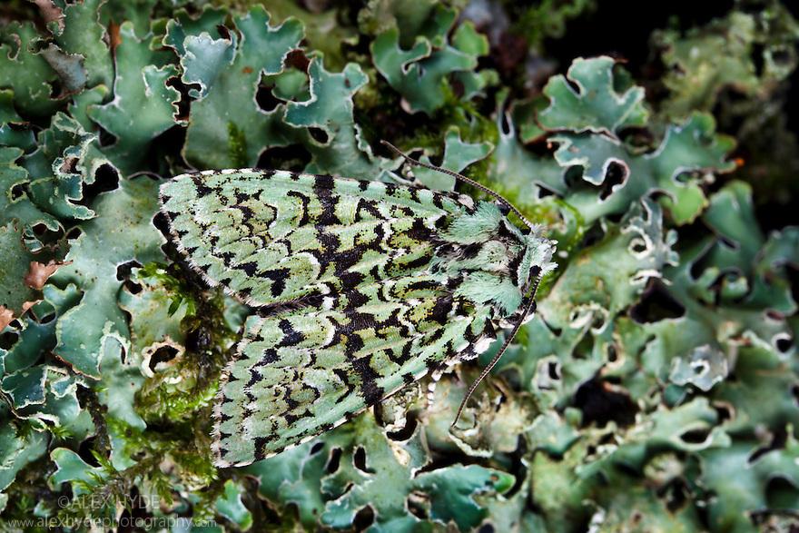 Merveille-du-Jour moth {Dichonia aprilina}, camouflaged on lichen. Derbyshire, UK. October.