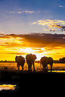 Botswana-Wildlife-Elephants